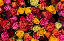 Kirjan ja ruusun päivänä vaihdetaan lahjoja