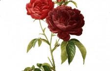 Tietoa Kirjan ja ruusun päivästä
